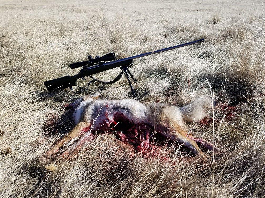 2 of 2 coyote.jpg