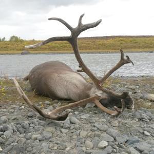 brent-caribou.jpg