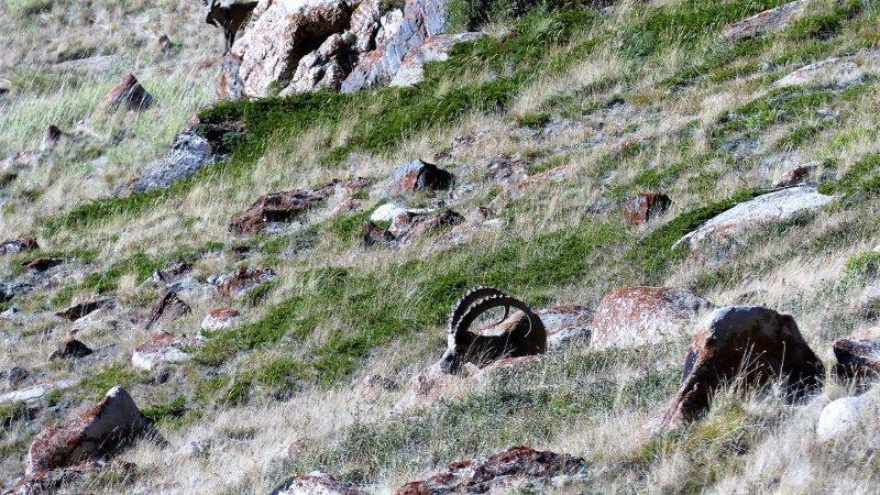 D's Altai ibex before shot.jpg