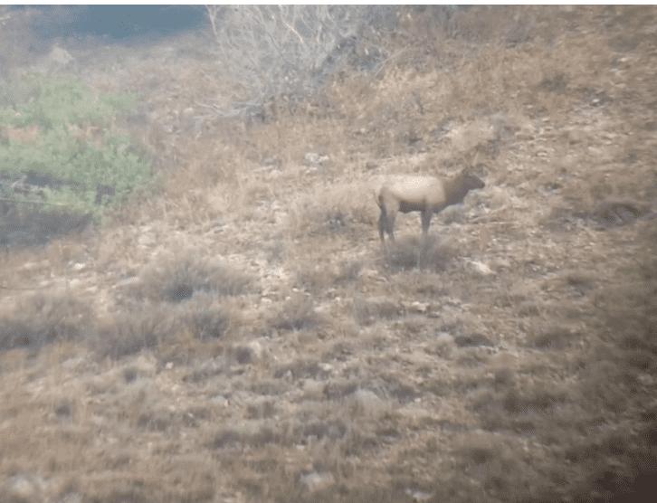 Josh's Elk at 1125.PNG