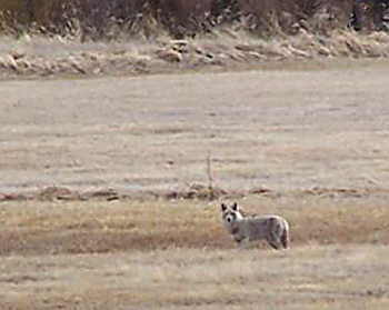 Songdog Fever -- Coyote Hunting