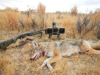 Camouflage, Concealment and Coyotes