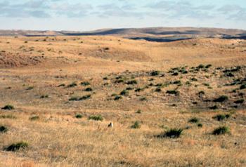 Sandhill Coyotes