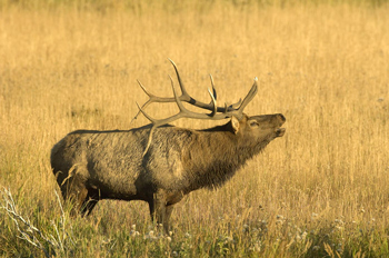 5 Secrets To A Successful Elk Hunt